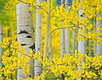 Close up view of fall colored aspen trees. San Juan Mountains. Uncompahgre National Forest, Colorado