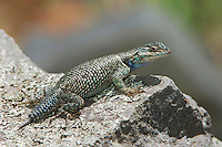 Mountain Spiny Lizard, Sceloporus jarrovii, adult, Madera Canyon, Arizona, USA, May 2005