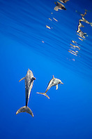 rough-toothed dolphins, Steno bredanensis, mother and calf, Kona Coast, Big Island, Hawaii, USA, Pacific Ocean