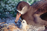 bird, Black-footed Albatross, Phoebastria nigripes, bird, Adult feeding chick at nest site on Sand Island, Midway Atoll, Papahanaumokuakea Marine National Monumen, Northwestern Hawaiian Islands, or Leeward Islands, Hawaii, USA, Pacific Ocean Note chick is pecking at adult's bill, which stimulates adult to regurgitate food.