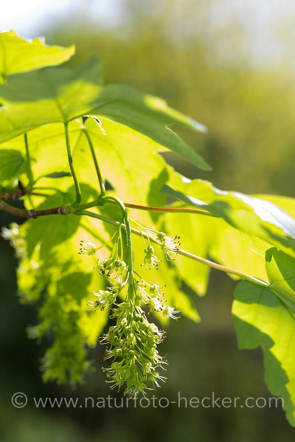 Berg-Ahorn, Bergahorn, Blüten, blühend,  Blüte, Ahorn, Acer pseudoplatanus, Sycamore, Erable sycomore, sycamore maple, L'érable sycomore
