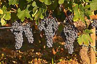 Ripe Merlot grape bunches on the vine at Chateau Lafleur, Pomerol, Bordeaux
