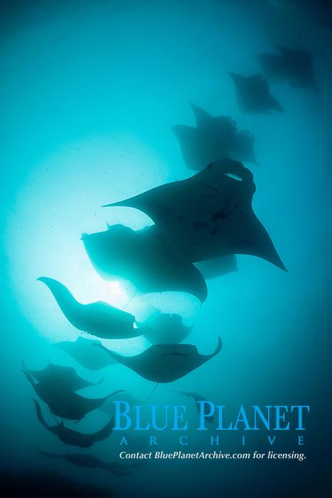 reef manta rays, Mobula alfredi, chain-feeding on plankton, Hanifaru Bay, Hanifaru Lagoon, Baa Atoll, Maldives, Indian Ocean