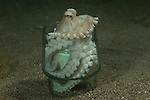 Coconut octopus(Amphioctopus marginatus) in a discarded coffee glass as its home.