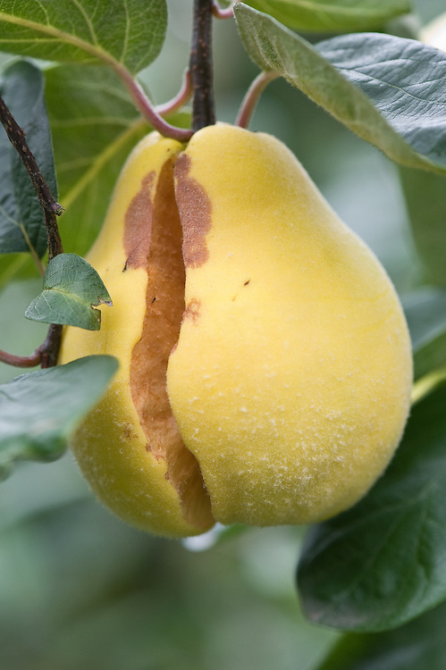 Fruits may split if a period of drought is suddenly followed by a spell of wet weather. Rot  is then likely to develop.