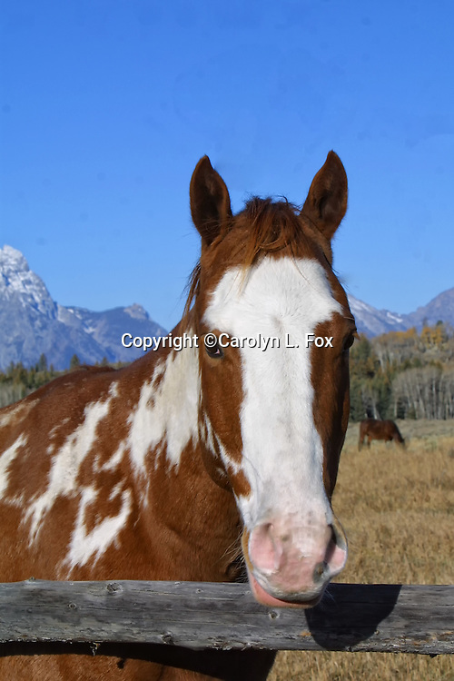 A horse stands by a fence in front of the Teton Mountain Range in Wyoming.