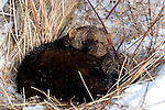 Fisher (Martes pennanti) resting in the snow.  Minnesota.