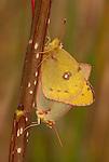 Sulphur Butterflies Mating