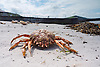 Crab stranded after a storm at Aberystwyth, Ceredigion, West Wales. The Brown Crab is one of the most common crab species found on the West Coast of Wales.<br /> <br /> Stock Photo by Paddy Bergin