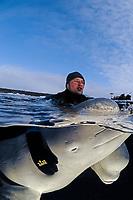 Beluga whale, Delphinapterus leucas, White Whales in Russian outdoor delphinarium with Trainer, (cr), Russia, White Sea, PR, MR