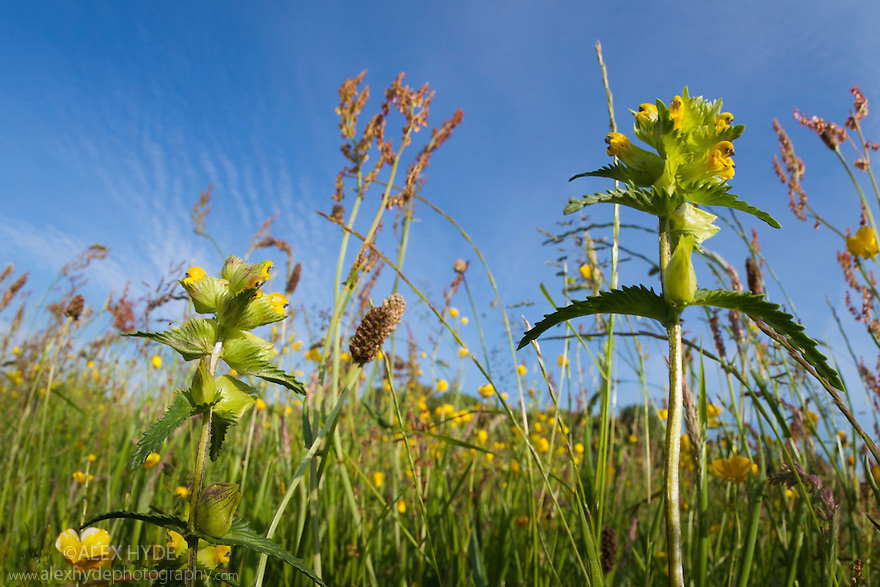 Yellow Rattle (Rhinanthus minor) growing in a hay meadow. Peak District National Park, Derbyshire, UK. June.