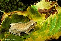 FR16-046z  Spring Peeper Tree Frog - on forest floor -  Pseudacris crucifer, formerly Hyla crucifer