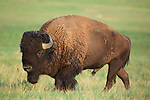 American Bison Bull in Rut