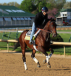 April 23, 2014 Medal Count, trained by Dale Romans, gallops at Churchill Downs with rider Faustino Aguilar.  He is owned by Spendthrift Farm and recently finished second in the Blue Grass Stakes.
