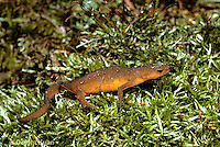 SL04-015z Red -Spotted Newt - red eft (land form) - Notophthalmus viridescens