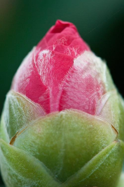 Close-up of bud-burst, Camellia x Williamsii 'Skip March', glasshouse, early February.