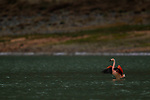 Chilean Flamingo (Phoenicopterus chilensis) flapping, Amarga Lagoon, Torres del Paine National Park, Patagonia, Chile