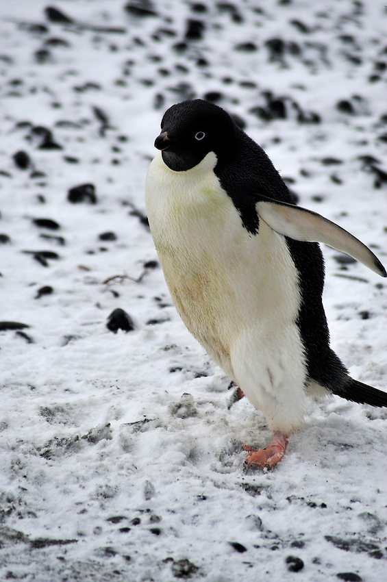 """It's not really that cold!"" - Adelie Penguin at Brown Bluff"