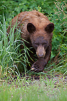 Black Bear Cub emerging from the rain-soaked underbrush