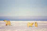 polar bear, Ursus maritimus, mother & cubs, Arctic National Wildlife Refuge, North Slope of Alaska, polar bear, Ursus maritimus