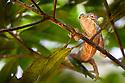 Panther chameleon {Chamaeleo pardelis} hunting invertebrates in tree in lowland rainforest. Masoala Peninsula National Park, north east Madagascar.