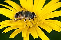 Große Bienenschwebfliege, Bienen-Schwebfliege, Mistbiene, Schlammfliege, Scheinbienen-Keilfleckschwebfliege, Weibchen, Eristalis tenax, drone fly, dronefly, female, L'éristale gluant, L'éristale tenace