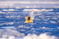 polar bear, Ursus maritimus, in water in an open lead on the pack ice of the frozen coastal plain, 1002 area of the Arctic National Wildlife Refuge, Alaska, polar bear, Ursus maritimus