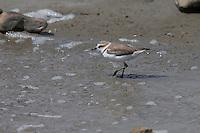 Seeregenpfeifer, See-Regenpfeifer, Weibchen, Regenpfeifer, Charadrius alexandrinus, Kentish plover, female