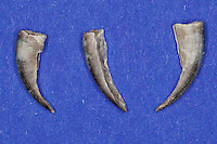 Untersuchung von einem Gewölle einer Eule, Uhu, Uhugewölle, Speiballen, die Hornschuppen der Krallen als unverdauliche Nahrungsreste, die unverdauten Knochen als Nahrungsreste wurden aus einem Geölle heraus sortiert, Uhu hat einen Igel gefressen