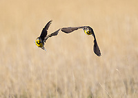 Western Meadowlarks chase each other at Camas NWR.