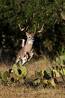 White-tailed Deer (Odocoileus virginianus), buck jumping over cactus, Hill Country, Texas, USA