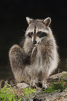 Northern Raccoon, Procyon lotor, adult at spring fed pond with fern, Uvalde County, Hill Country, Texas, USA, April 2006