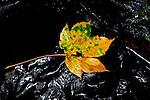 Europa, DEU, Deutschland, Baden-Wuerttemberg, Odenwald, Neckargerach, Herbst, Margarethenschlucht, Blatt, Ahornblatt, Kategorien und Themen, Natur, Umwelt, Landschaft, Jahreszeiten, Stimmungen, Landschaftsfotografie, Landschaften, Landschaftsphoto, Landschaftsphotographie, ....[Fuer die Nutzung gelten die jeweils gueltigen Allgemeinen Liefer-und Geschaeftsbedingungen. Nutzung nur gegen Verwendungsmeldung und Nachweis. Download der AGB unter http://www.image-box.com oder werden auf Anfrage zugesendet. Freigabe ist vorher erforderlich. Jede Nutzung des Fotos ist honorarpflichtig gemaess derzeit gueltiger MFM Liste - Kontakt, Uwe Schmid-Fotografie, Duisburg, Tel. (+49).2065.677997, fotofinder@image-box.com, www.image-box.com]