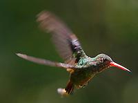 MANIZALES -COLOMBIA, 19-10-2016. Se calcula que en Manizales hay unas 150 especies de colibríes, tanto residentes como migratorias. Por este motivo, la capital caldense se ha convertido en lugar de visita de los amantes del avistamiento de aves . Photo:VizzorImage / Santiago Osorio  / Contribuidor