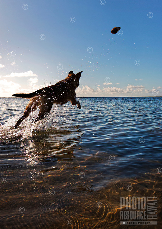 "Goal-Oriented: Poi dog Isabella goes after her coconut ""toy"" in the shallow waters of Maunalua Bay, East O'ahu."