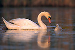 Mute swan and cygnets, New Jersey