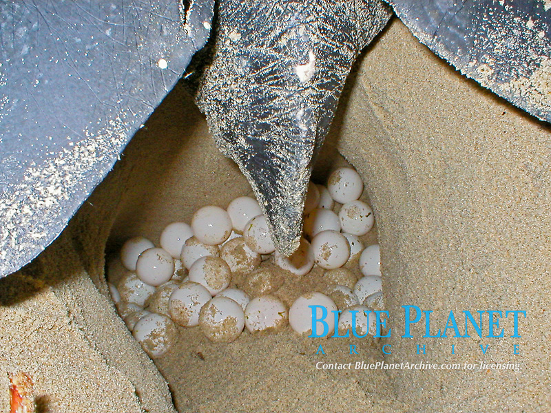 leatherback sea turtle, Dermochelys coriacea, laying eggs, Dominica, Caribbean, Atlantic