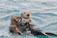 Alaskan or Northern Sea Otter (Enhydra lutris) mother with pup.
