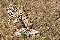 A Cheetah, Acinonyx jubatus jubatus, eats a Thomson's Gazelle, Eudorcas thomsonii, that it has killed in Serengeti National Park, Tanzania