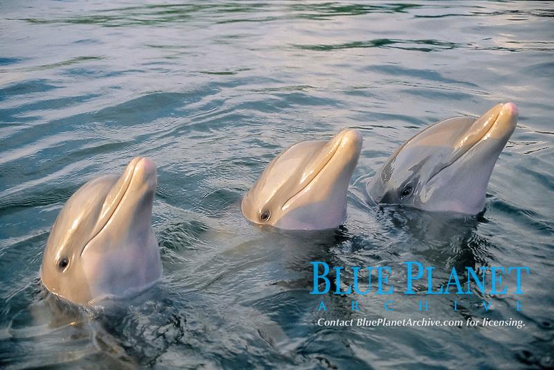 Three In The Sea, dolphin, bottlenose dolphins, Tursiops truncatus, spy hopping, Key West, Florida, Atlantic