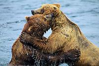 Coastal grizzly bear (Ursus arctos) wrestling--dominance behavior among big males--at salmon fishing areas, Alaska.