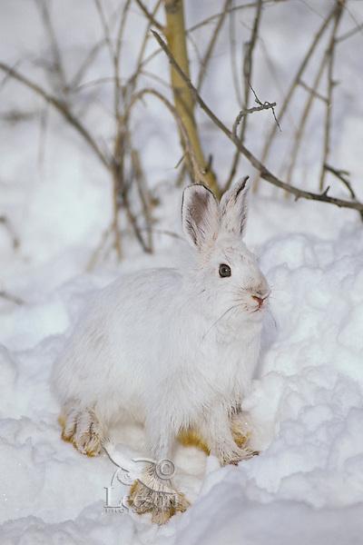 Snowshoe hare  or varying hare (Lepus americanus)