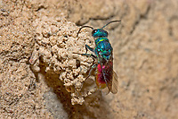 Goldwespe, Chrysis spec., gold wasp, Goldwespen, Chrysididae, cuckoo wasp, cuckoo wasps