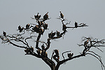 A tree full of African White-backed Vultures in Africa