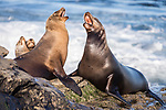 La Jolla, California; a bull male and a female California sea lion vocalize at each other, as she protects her juvenile pups while resting on the rocky shoreline along the Pacific Ocean, in early morning sunlight