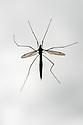 Crane fly or Daddy longlegs (Tipula paludosa).