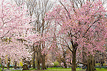 Cherry blossoms in the Public Garden, Boston, Massachusetts, USA