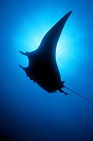 silhouette, giant oceanic manta ray, Mobula birostris, formerly Manta birostris, Sea of Cortez, Mexico