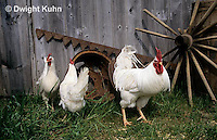 DG13-076z  Chickens in barnyard - Hens and Rooster - White Leghorn