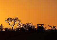 Tourists go on safari at sunrise in Kruger National Park.